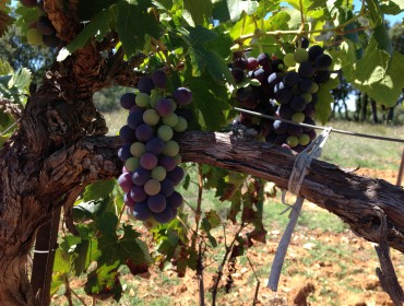 raisin resveratérol