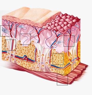 coupe-peau-schéma