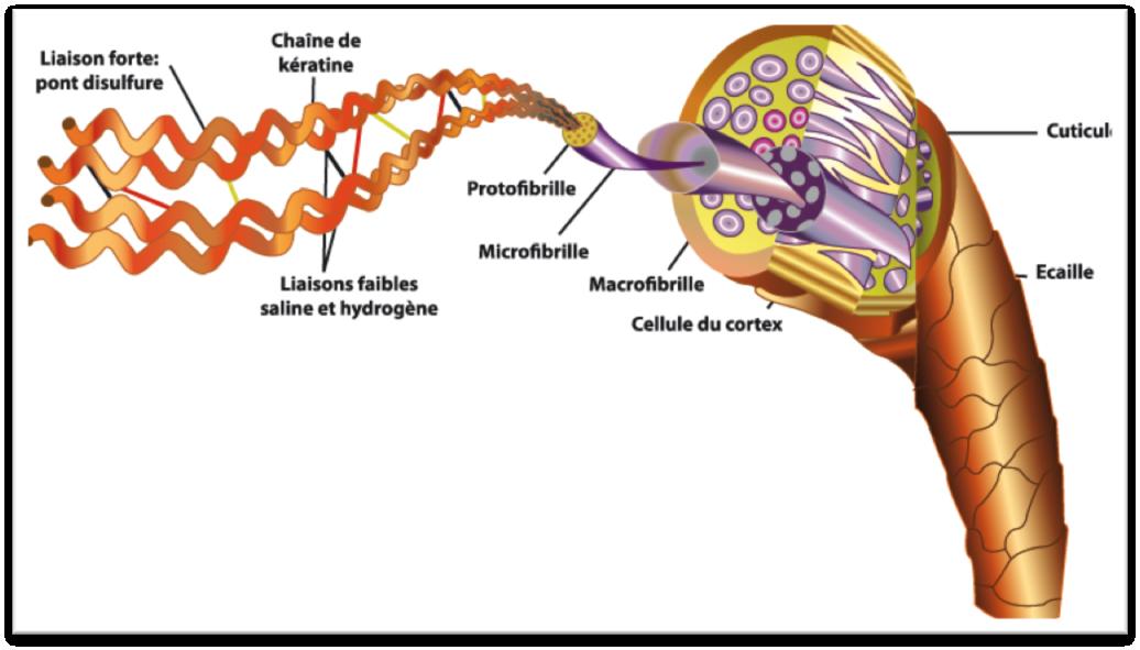 keratine-schéma