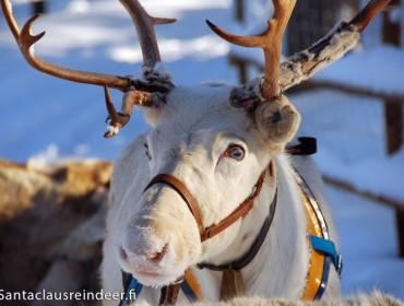 un-renne-blanc-aux-yeux-bleus-a-santa-claus-reindeer-a-rovaniemi-en-finlande