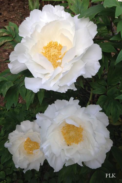 pivoine-arbustive-blanche