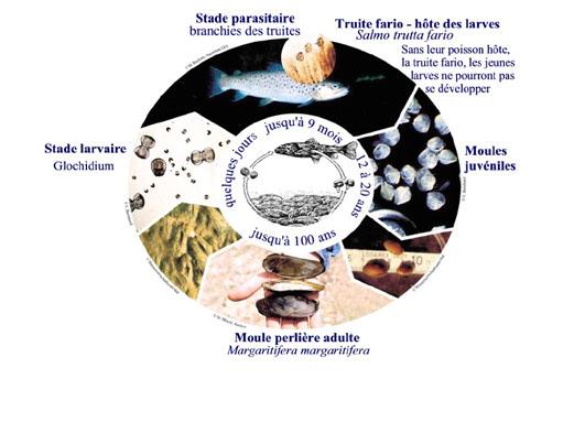moule-perlière-cycle-de-vie