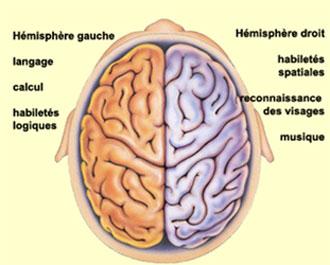 schéma-vue-de-dessus-cerveau-droit-cerveau-gauche