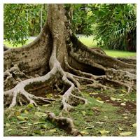 racines-arbres