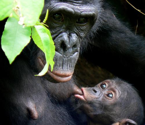 maman-gorille-qui-allaite