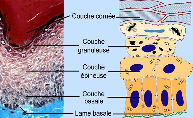 peau-schéma-coupe