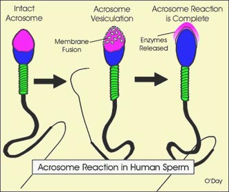 spermatozoïde fertilité oméga 3