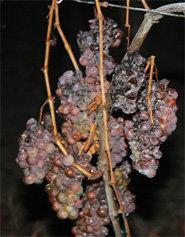 raisins-givre-pour-vin-de-glace-alsace