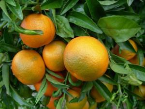 oranges-sur-l-arbre-encore-vertes