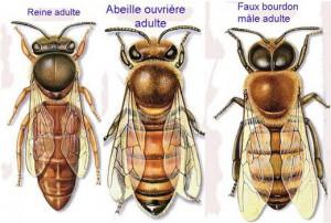 abeilles-miel