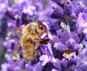 abeille-butine-dans-de-la-lavande