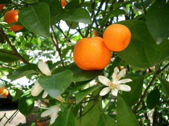 mandarine-ou-clémentine-sur-un-arbre-en-fleur