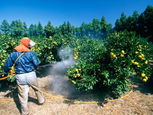 homme-qui-traite-aux-pesticides-les-orangers