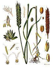 Le-blé-de-la-Sainte-Barbe