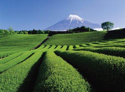 MontFudji-thé-bancha-japon