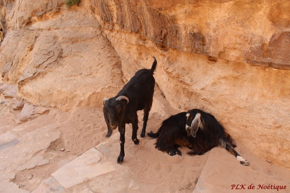 Pétrachemin-vers-el-deir-chèvres