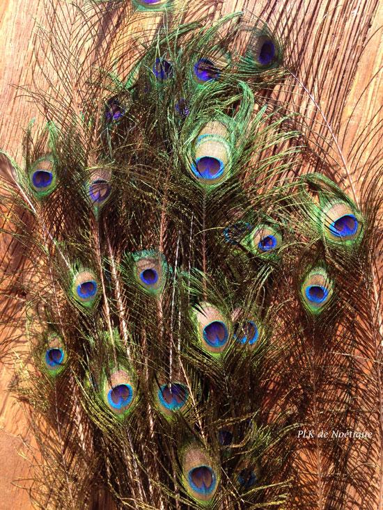 plumes de paon