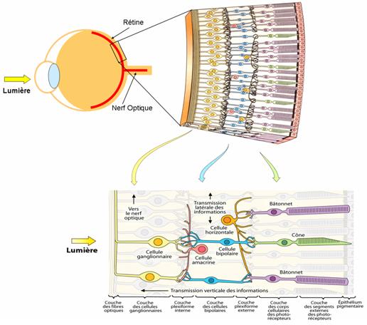 schéma-cellules-de-la-rétine