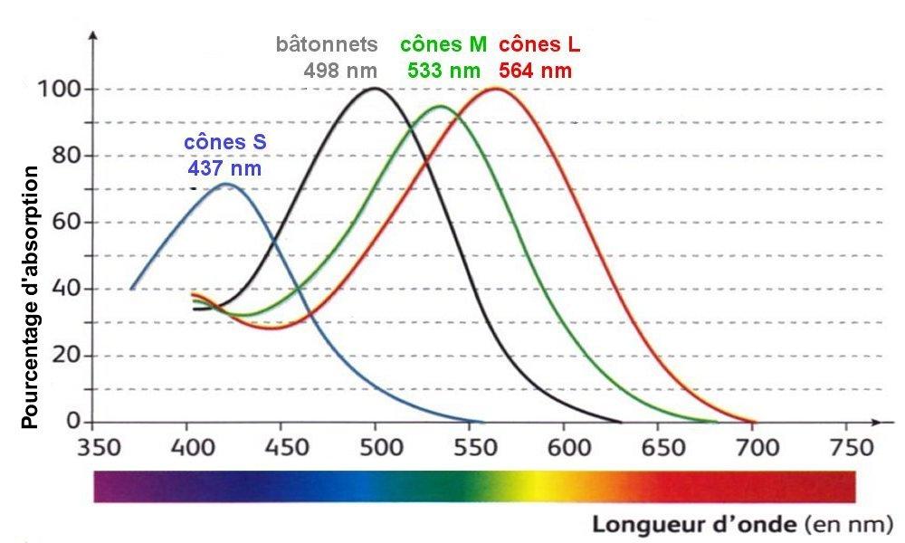 vision-cônes-et-bâtonnets-longueur-d-ondes-lumière