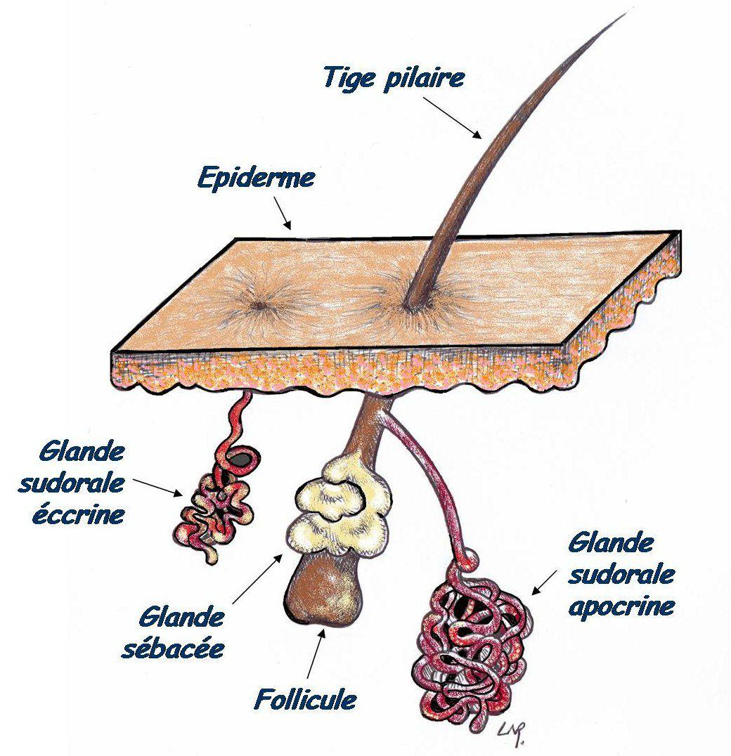 glande-eccrine-apocrine -coupe-de-la-peau