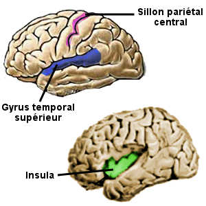 cerveau-aires-stimulées-par-la-lecture-gyrus-insula