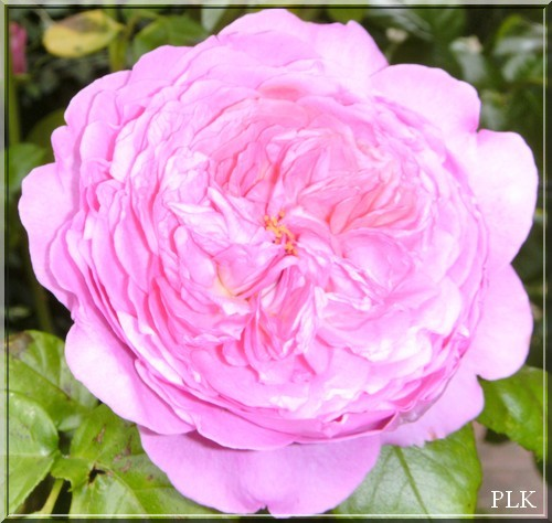 flowerpower rose anglaise