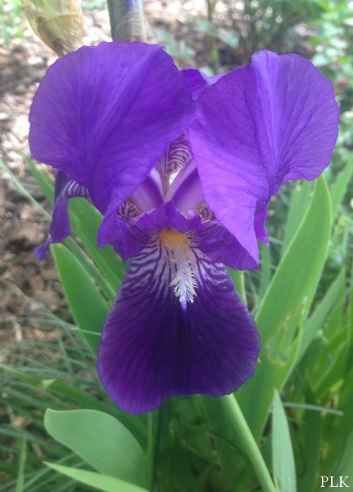 iris-bleu-jardin