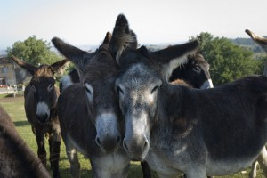 les-ânes-d-Autan-qui-se-calinent