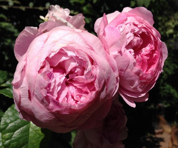 rose-anglaise-parfumée-poème-Ronsard