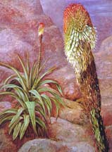 kniphofia_northiae_painting-Marianne-North