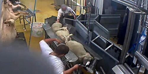 abattoir-Vigan-mouton-sadisme