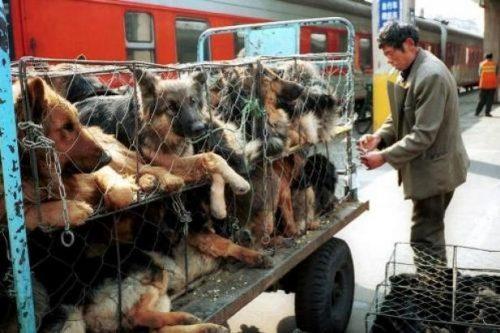 festival-Yulin-chiens-horreur