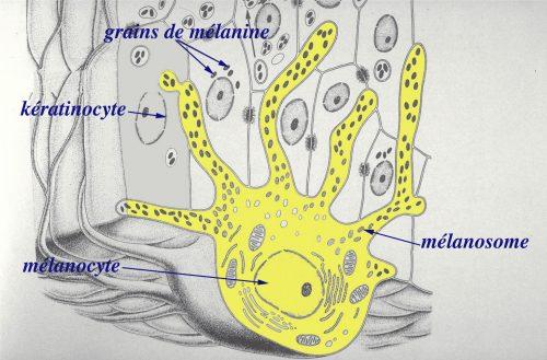 melanocyte-melanine-lentigo