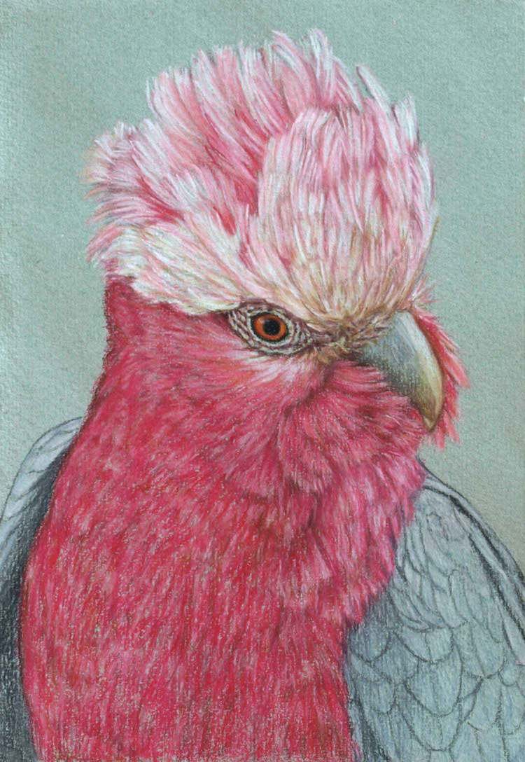 galah-3-drawing-rachel-newling