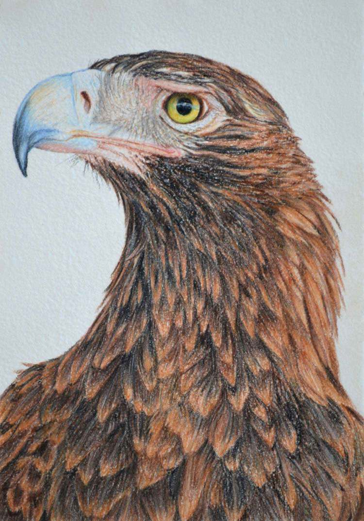 wedge-tailed-eagle-2-drawing-rachel-newling