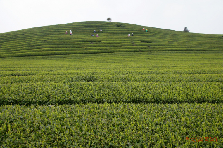 champ-de-thé-vert-jeju-corée