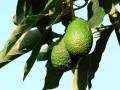 avocat-santé-guacamole