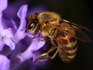 provence-miel-abeille