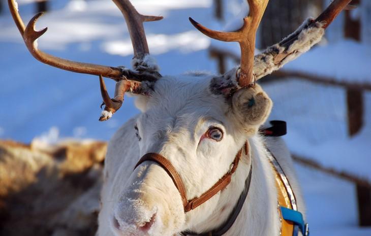 Les rennes du p re no l ont les yeux bleus - Image rennes noel ...