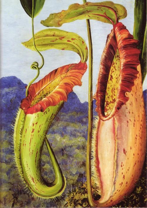 Peinture de Marianne North : urne membraneuse supérieure et urne membraneuse inférieure de Nepenthes northiana