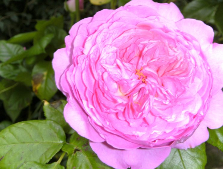 L Iris Symbole D Amour