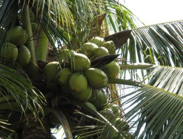 coconut_green