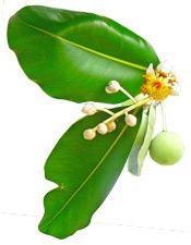 plante-calophylle